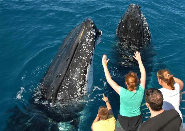whale watching at Hervey Bay, Australia