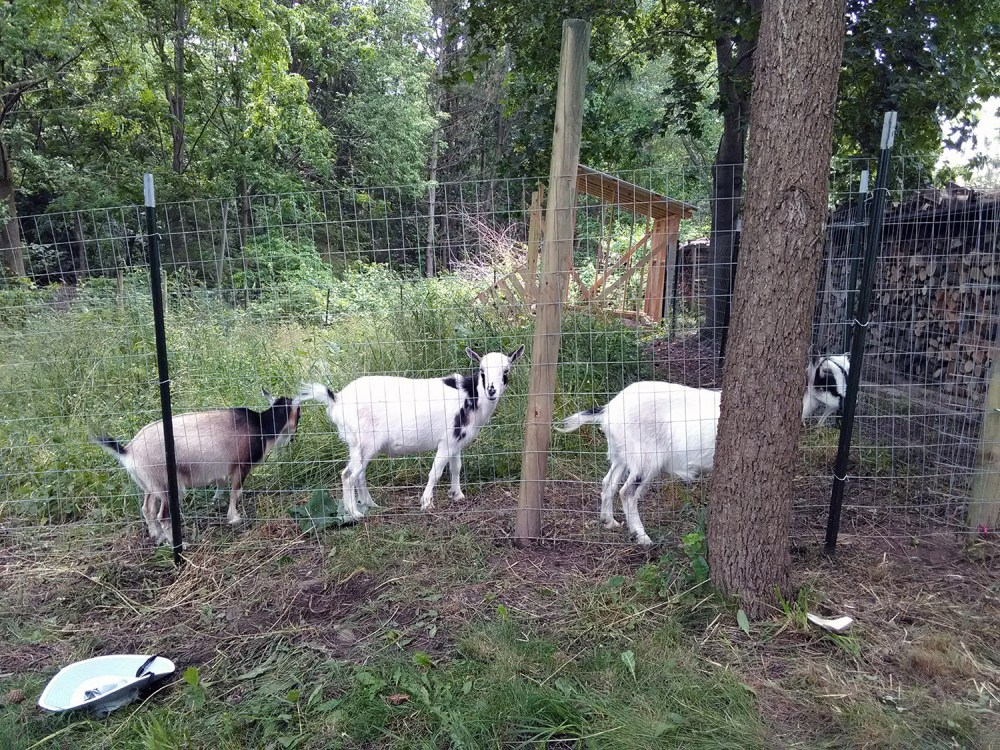 3 goats in a paddock