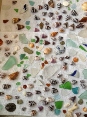 Shells collected, washed, drying.