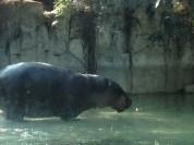 Pygmy hippo...