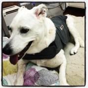 Dog calms down a little wearing her thundershirt