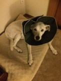 Poor dog has to wear a cone every night now... hoping it will help her out.