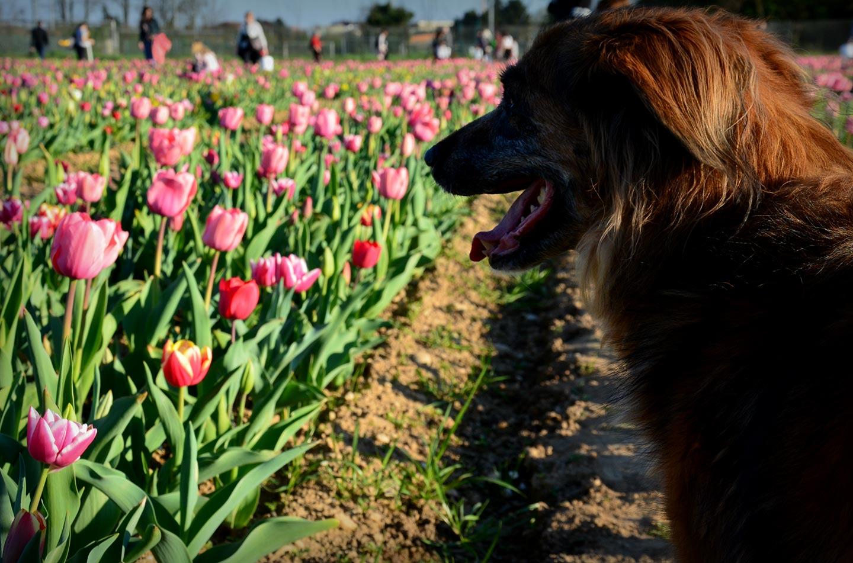 Che belli i tulipani di Cornaredo