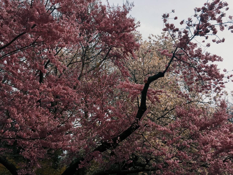 A Brooklyn neanche i ciliegi in fiore riescono a essere zen