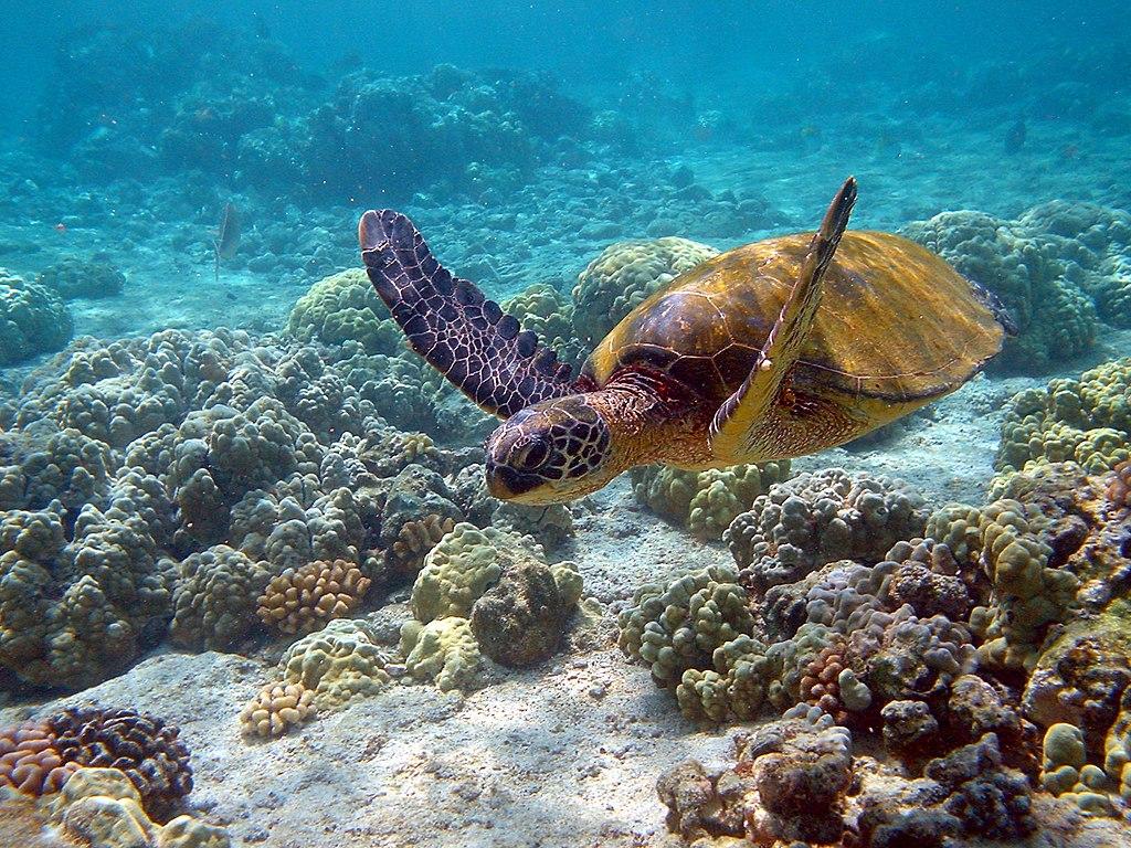 https://i0.wp.com/thesubmarine.it/wp-content/uploads/2018/06/1024px-Hawaii_turtle_2-2.jpg?fit=1024%2C768&ssl=1