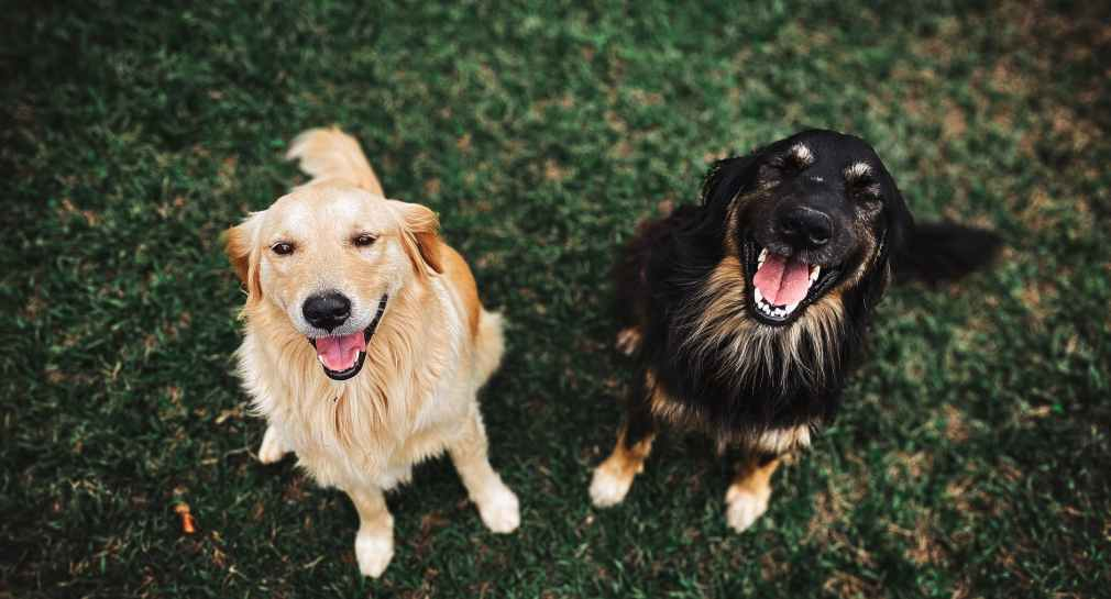 two long coated brown and black dogs