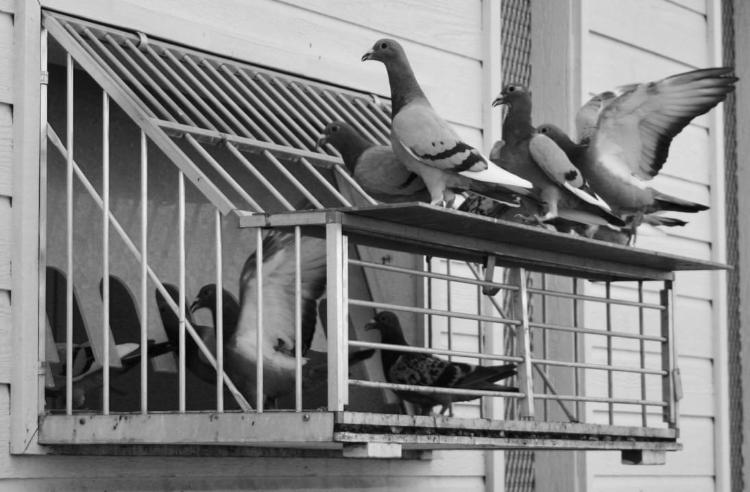 Westside Story – Racing Pigeons Go To School