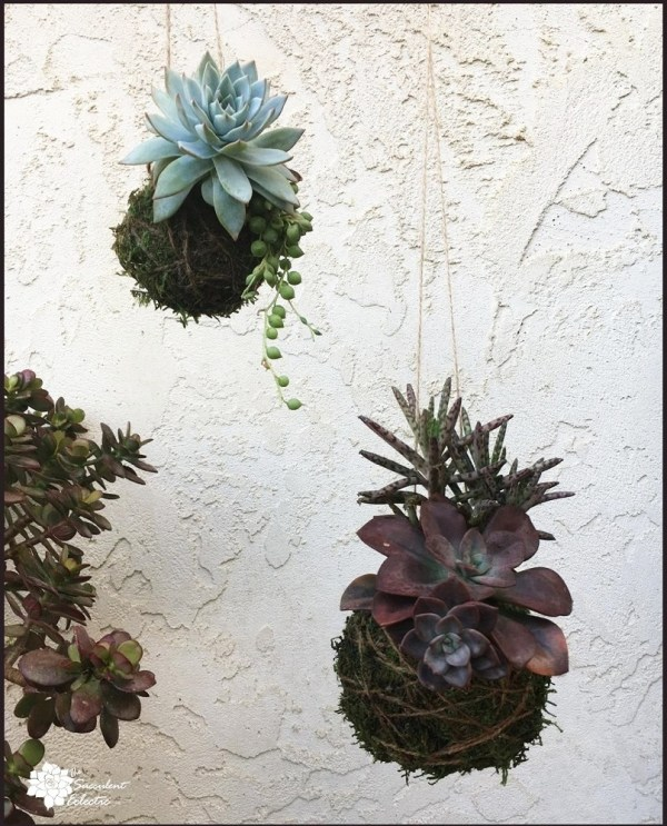 succulent kokedama balls, echeveria, string of pearls and kalanchoe