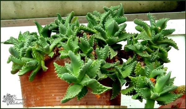 Faucaria tigrina are super easy succulent houseplants