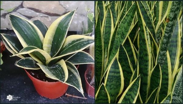 sansevieria are perfect succulent houseplants
