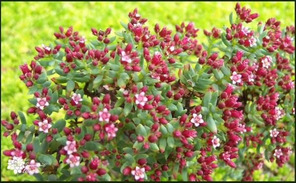Crassula Sarcocaulus in bloom