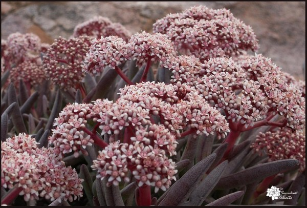Crassula macowaniana in full bloom
