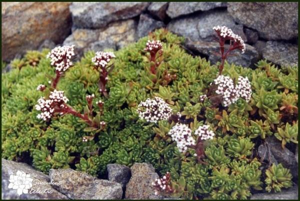 Crassula milfordiae blooms