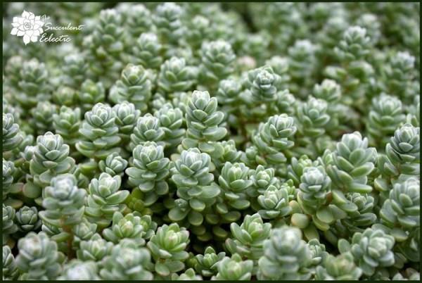 crassula oaxacalum perfect for propagation