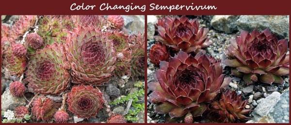 sempervivum plants change color with the seasons