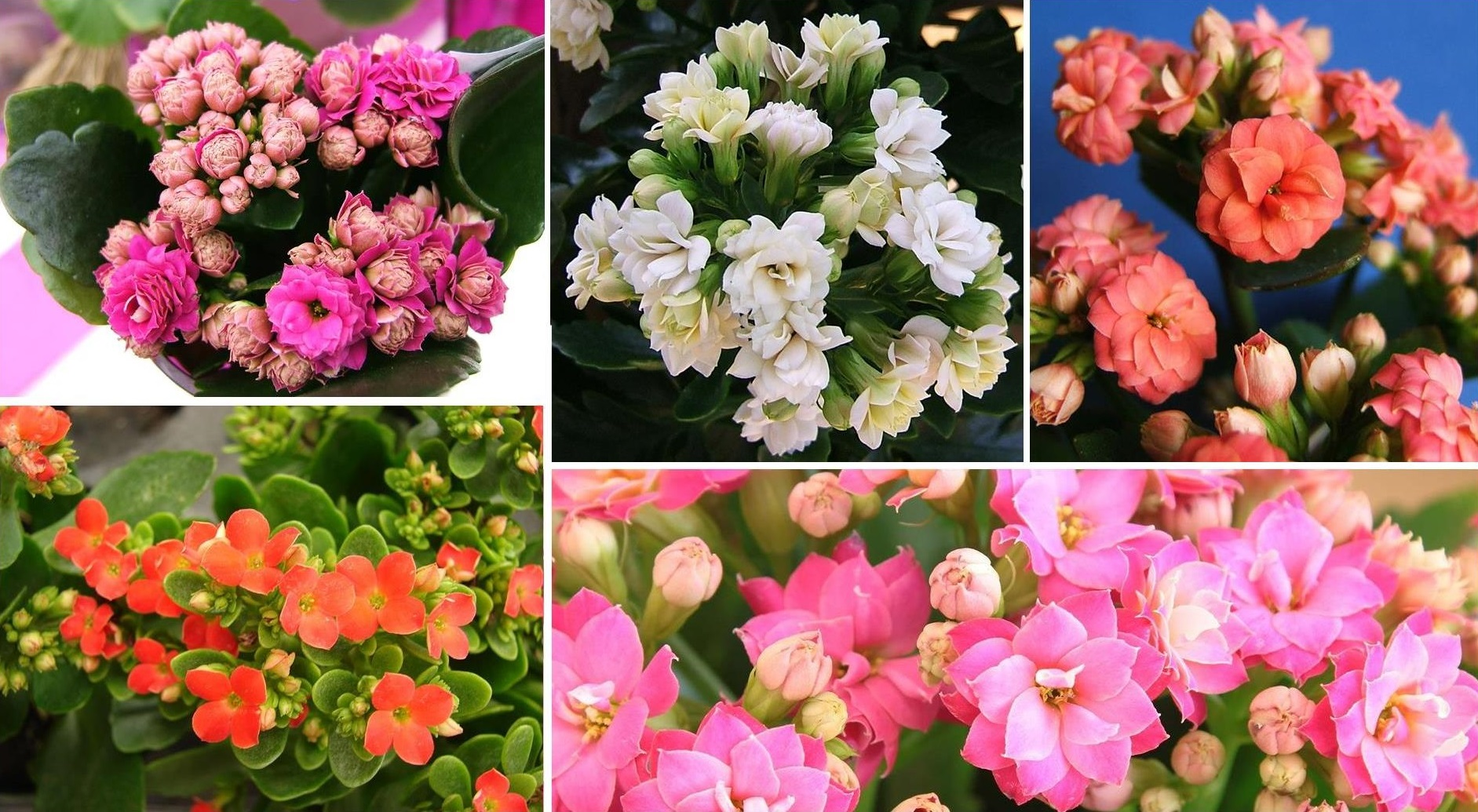 Tell you about how to care for Kalanchoe at home