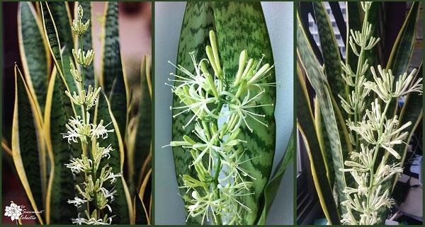 sansevieria snake plant flower