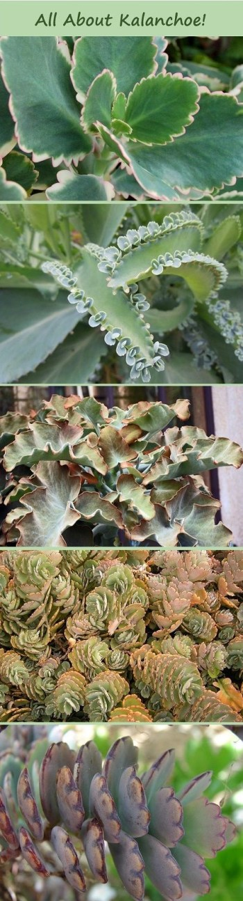 All about growing succulent kalanchoe