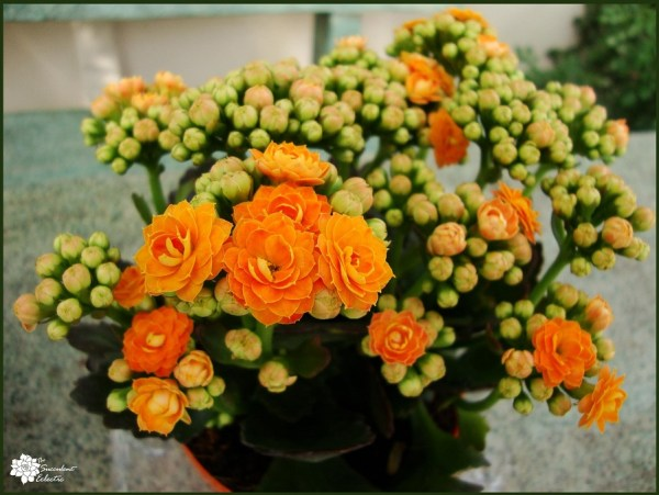 kalanchoe rebloom easily with simple steps