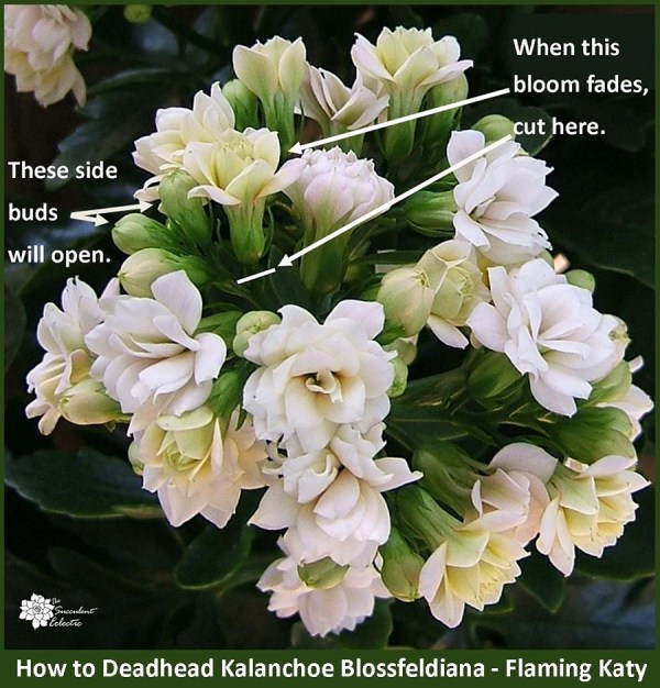 kalanchoe houseplant care - how to deadhead kalanchoe blossfeldiana