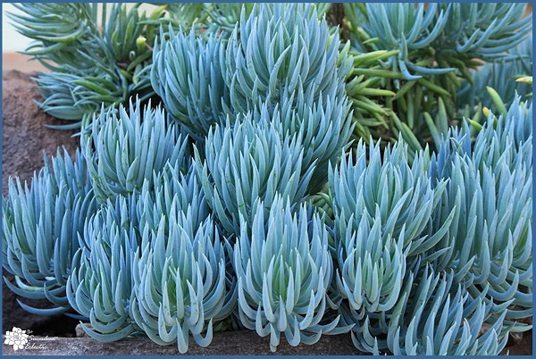 Senecio serpens mandraliscae)- Blue Chalk sticks plant