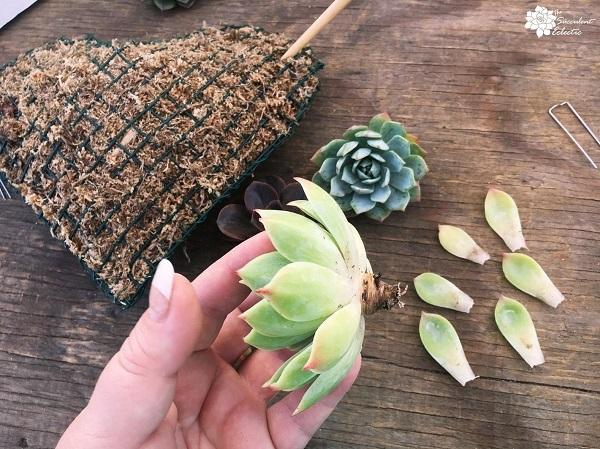 prepare echeveria cuttings for adding to topiary heart