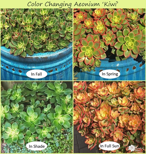 aeonium kiwi demonstrates succulent stress in fall, spring, sun and shade