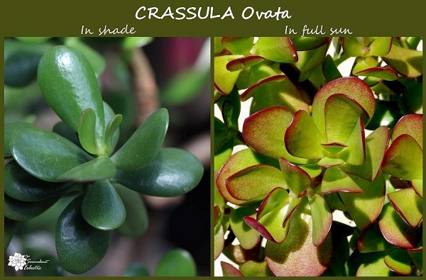 succulent stress illustration with crassula ovata in sun and shade