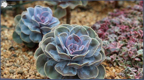 echeveria planted in gritty fast draining succulent soil