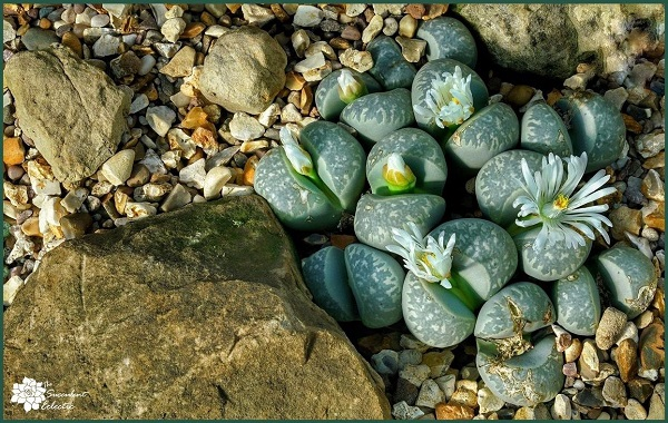 succulent care begins with fast draining soil for this lithops