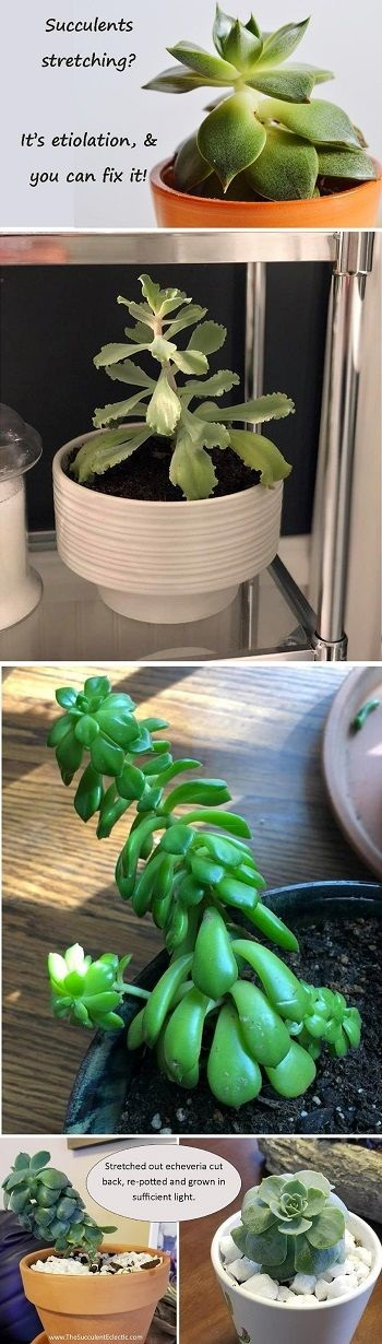 why succulents stretch and how to correct it