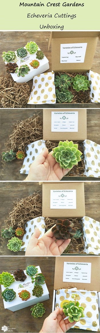 unboxing echeveria cuttings from Mountain Crest Gardens