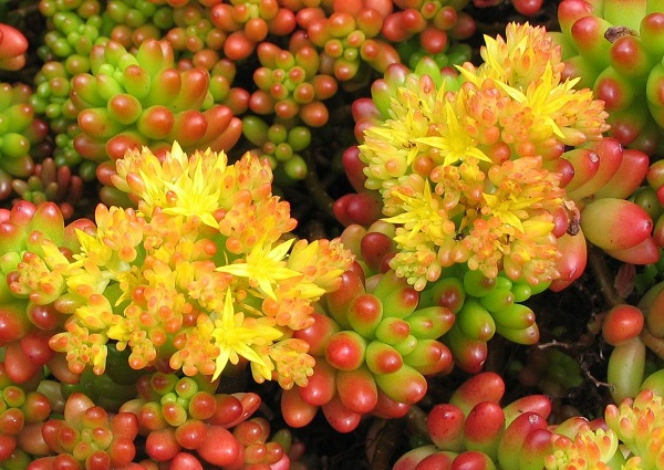 tender sedum rubrotinctum jelly bean plant in bloom