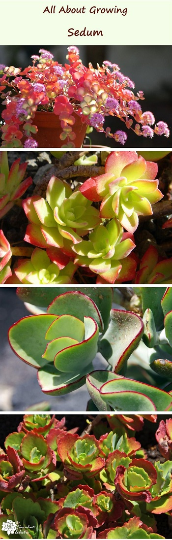 All about growing sedum