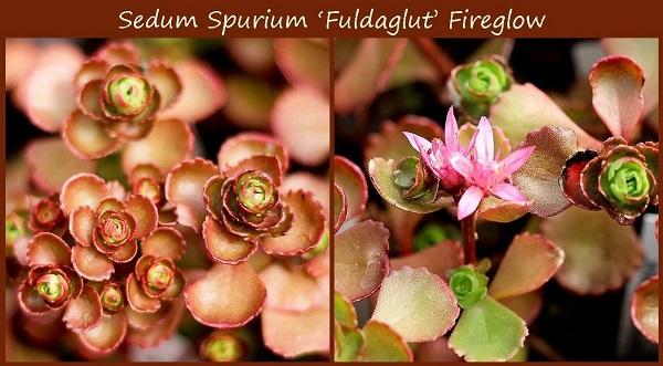 sedum spurium fireglow coppery foliage and pink flowers