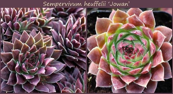sempervivum jowan shows color changes due to seasonal temperature changes