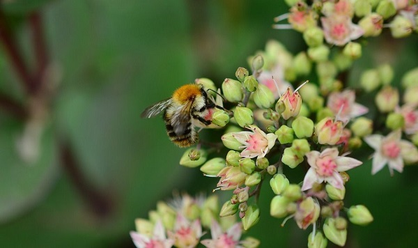 honey bee pollinating sedum succulent blooms