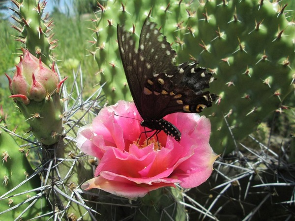 swallowtail butterfly pollinating opuntia cactus blooms