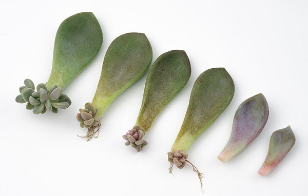 succulent propagation from leaves showing new growth