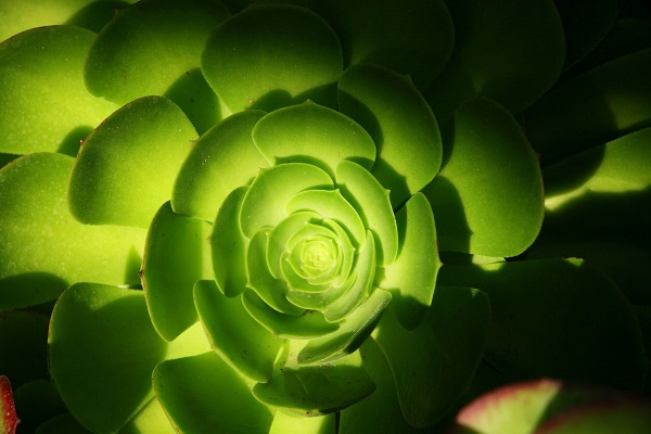 green aeonium is one of best succulents for shade