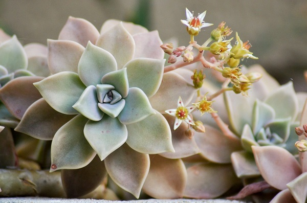 succulent care for lovely pachyveria