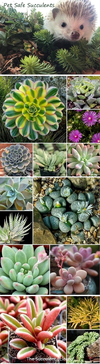 list of pet safe succulents with pictures