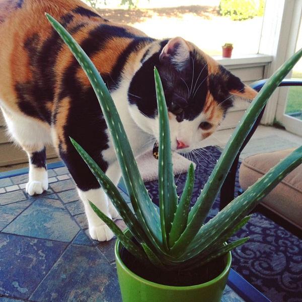 can investigates aloe vera a toxic succulent plant