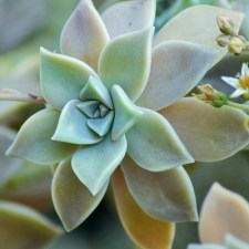 Graptoveria succulent plants