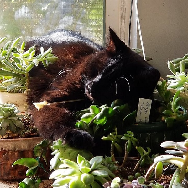 cat sleeping among succulent plants
