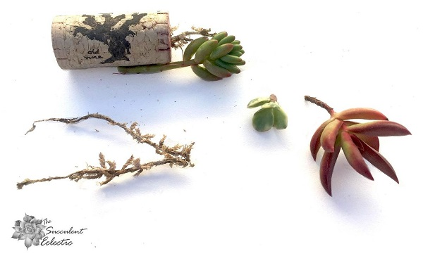 ready to plant succulent cork magnets