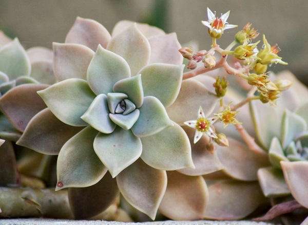 Graptopetalum paraguayense, the ghost plant succulent in bloom