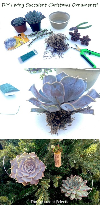 DIY Living succulent Christmas ornaments