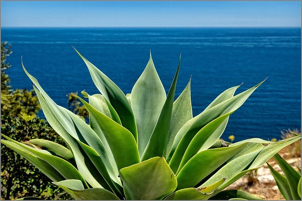 unarmed agave growing in full sun, overlooking the sea