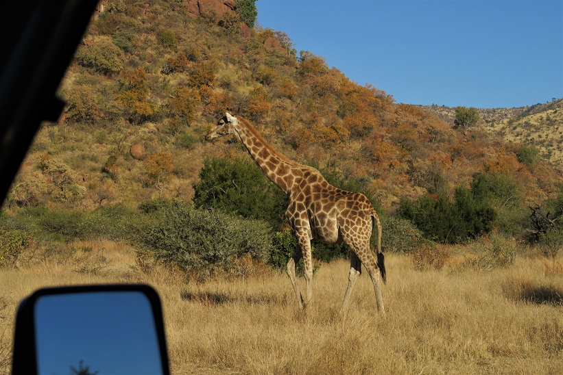 Pilanesberg-National-Park-Safari-Budget-Breakdown-The-Cost-of-Solo-Travel-in-South-Africa